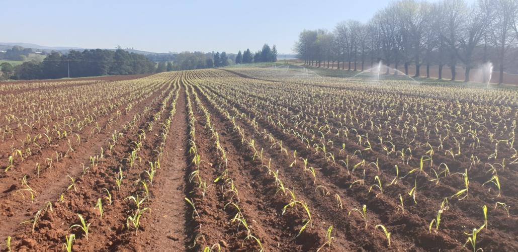 In-Field Performance Of Seedlings - Sunshine Seedling Services - Pietermaritsburg, South Africa