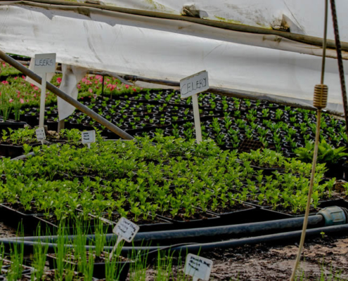 Celery and Leeks - Vegetable Seedling Nursery - Pietermaritsburg, South Africa
