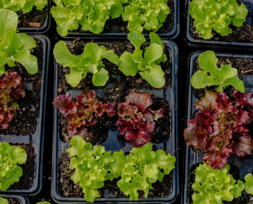 Lettuce - Vegetable Seedling Nursery - Pietermaritsburg, South Africa