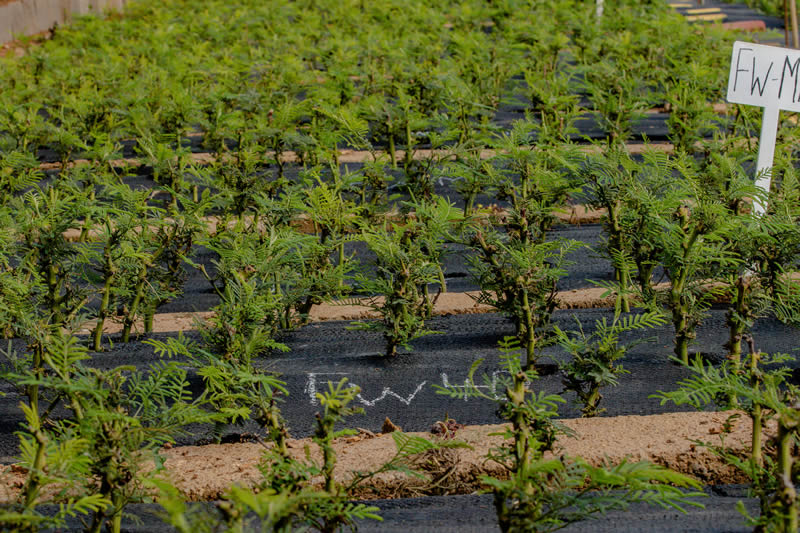 Clonal Forestry Seedling Nursery - Pietermaritsburg, South Africa