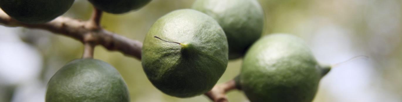 Macadamia Seedling Nursery - Pietermaritsburg, South Africa